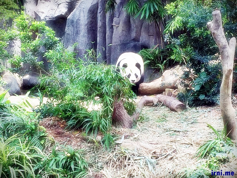 Yang aku baca dari blog laen biasanya pandanya suka bobo, beruntung kemaren dua dua pandanya bangun :D